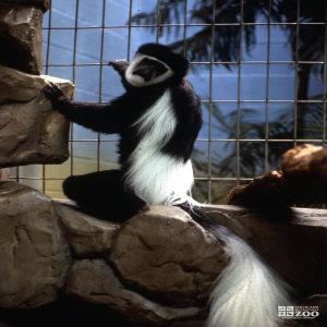 Colobus Monkey, Sitting On Rock