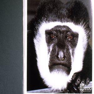 Colobus Monkey, Up Close Of Face