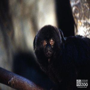 Monkey, Goeldi's  Up Close Of Face
