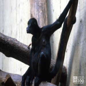 Robust Black Spider Monkey Sitting On Branch