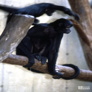 Robust Black Spider Monkey Side View