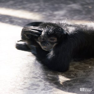 Robust Black Spider Monkey Thinking Hard
