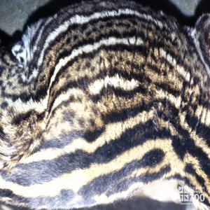 Ocelot, Up Close Of Markings 2