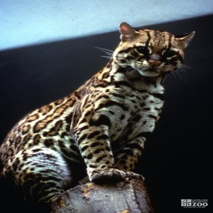 Ocelot, Up Close