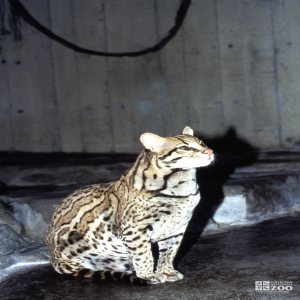Ocelot Sitting Side View