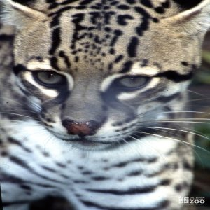 Ocelot Up Close Of Face