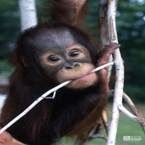 Orangutan Infant Chewing On A Branch