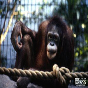 Orangutan Up Close