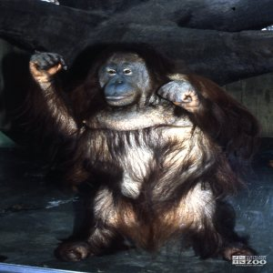 Orangutan Standing Up