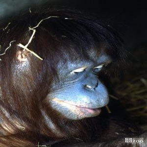 Orangutan Side View Of Face