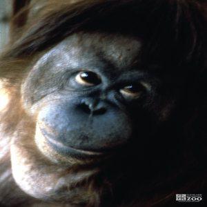 Orangutan Up Close Of Face