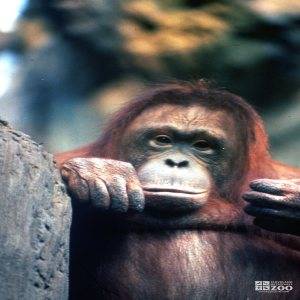 Orangutan Up Close Looking Pensive