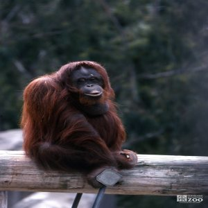 Orangutan Up Sitting On A Log