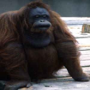 Orangutan Up Close Full Body