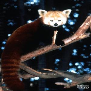 Red Panda Looking Right