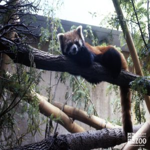 Red Panda Laying On Branch