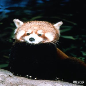 Red Panda Up Close Of Face