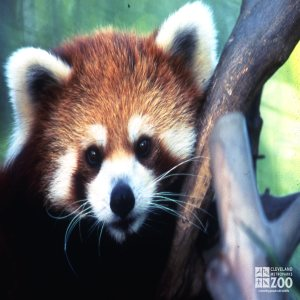Red Panda Up Close Of Face 4
