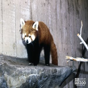 Red Panda Walking On Rock