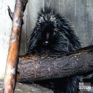 North American Porcupine Up Close