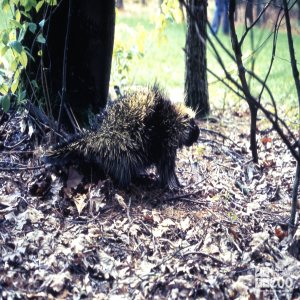 North American Porcupine Walking Through Leaves