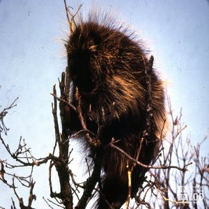 North American Porcupine Sitting On Top Of Tree