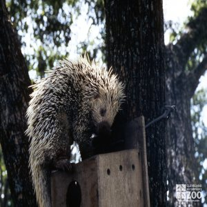 Prehensile-Tailed Porcupine On Top Of Box