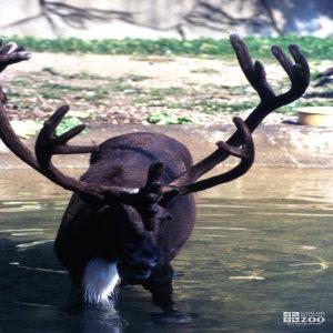 Reindeer Up Close Of Antlers & Enjoying Water