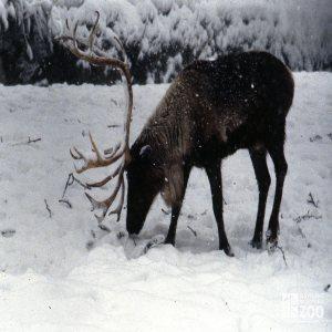 Reindeer Enjoying The Snow 2