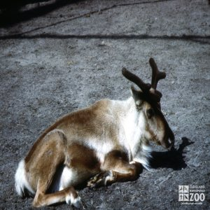 Reindeer Laying Down