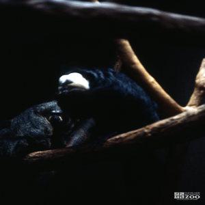 Pale-Headed Sakis Sitting On Limb