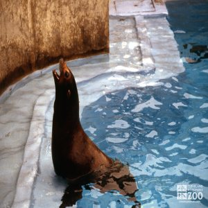 California Sea Lion Wanting For A Fish