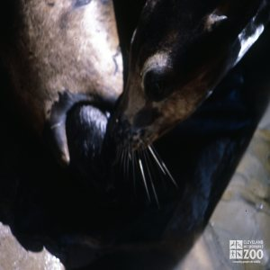 California Sea Lion Mom Cleaning Pup During Birth