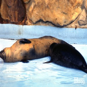 Harbor Seal Mom and Nursing Pup