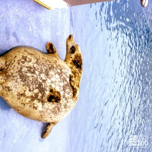Harbor Seal Top View