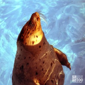 Harbor Seal Peeking Head Out Of Water