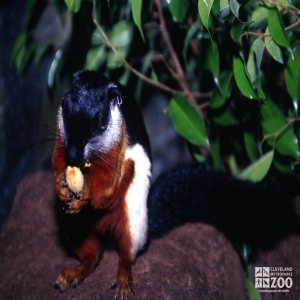 Prevost's Squirrel Eating A Nut