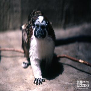 Tamarin, Geoffrey's Up Close Of Face