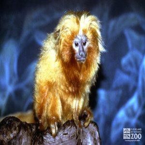 Tamarin, Golden Lion Up Close Of Face