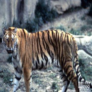 Tiger, Siberian Walking