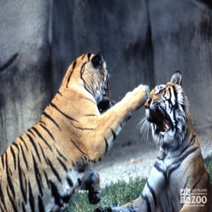 Tigers, Siberian Playing
