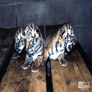 Tiger, Siberian Three Cubs