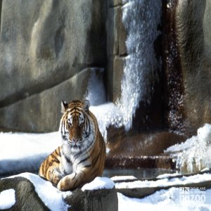 Tiger, Siberian Laying In The Snow