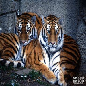 Tiger, Siberian Cuddling Together