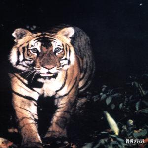 Tiger, Siberian Walking Forward
