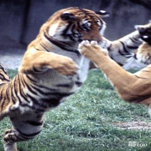 Tigers, Siberian Playing 2