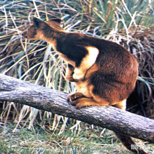 Tree Kangaroo, Goodfellow's Side View