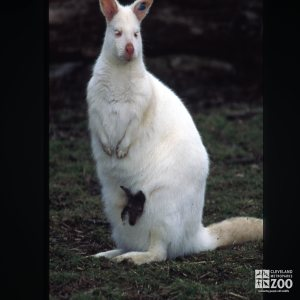 Bennett's Wallaby - Albino With Joey 2