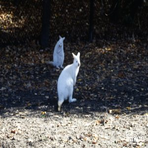 Bennett's Wallaby - Albinos
