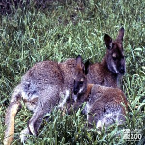 Bennett's Wallaby - Laying In The Grass